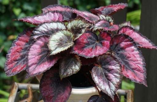 Begonia Rex Stained Glass Care