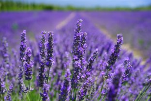 Lavender is a beautiful plant that also helps with stress and sleep problems. Use this herb in tea or as a tincture to relieve anxiety or insomnia.