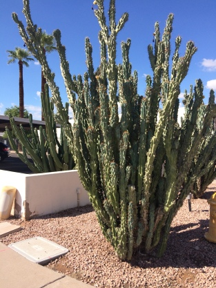 A large cactus near the sidewalk in Phoenix, Arizona