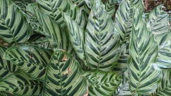 Calathea prayer plant