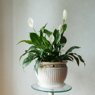 Peace lilies need a lot of water but be care not to over water them